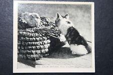 Cat Stalking Duckling      Original  1930's Vintage Photo Card # VGC
