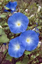 die wunderschöne Trichterwinde ist eine besonders tolle Rankpflanze !