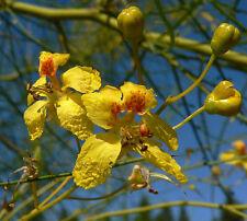 PARKINSONIA ACULEATA 10 semi seed Palo verde Mimosa peduncolata Jelly bean tree