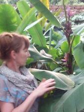 Essbare Rosa Banane für das Zimmer Bananenpflanze schnellwüchsig immergrün Bäume