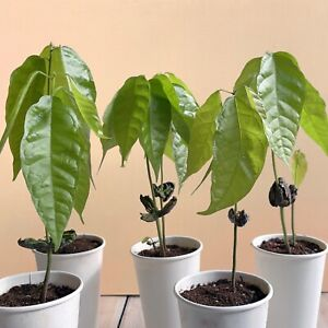 CACAO Plants 🌱 (Theobroma Cacao) CHOCOLATE COCOA   Rare Tropical Houseplant UK