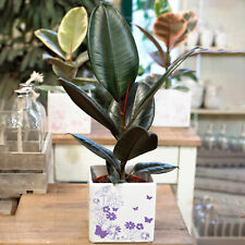 Indoor Ficus Abidjan | Houseplant Office Rubber Plant (30-40cm Incl. Pot)