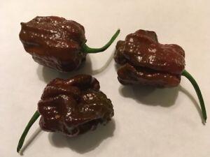 15 Chocolate Apocalypse Scorpion Pepper Seeds ULTRA RARE SUPER HOT 2020 HARVEST