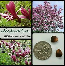 5 PURPLE MAGNOLIA TREE SEEDS (Magnolia liliiflora) Pink Purple Flower Scented