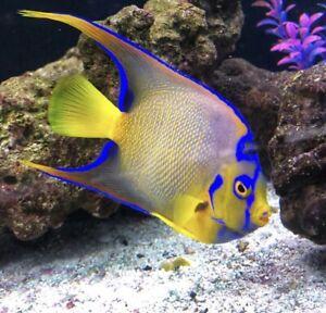 Queen Angel Medium *FREE SHIPPING* Live Saltwater reef Aquarium! FISH/REEF SAFE