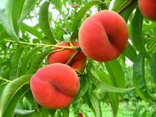 Saturn Peach trees well rooted new stock plant up to 3 in tall