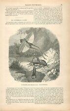 Larves Oeufs Sauterelle à sabre Decticus verrucivorus GRAVURE ANTIQUE PRINT 1878