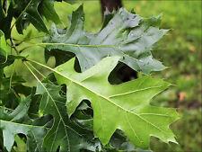 Black Oak Tree - Quercus velutina Established Roots 1 Gallon Trade Pot - 1 Plant