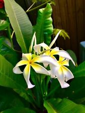 """Tropical Plant, Plumeria Yellow Color Flowers, A Seedling Plants, """"Stenopatala"""""""