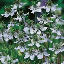 Cumin Black - Nigella sativa - 300 Seeds