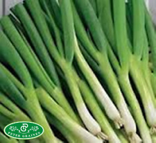 Seeds Welsh Onion Piero Vegetable Organic Grown Ukrainian Heirloom NON-GMO