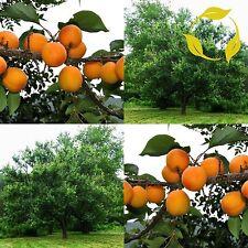 Manchurican Apricot Prunus Armeniaca Mandshurica - 5 Seeds