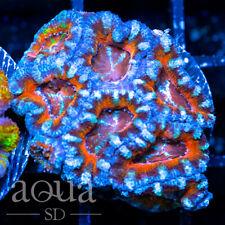New listing Asd - 074 Whirlwind Acan - Wysiwyg - Aqua Sd Live Coral Frag