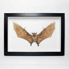 Taxidermy Long-Tongued Nectar Bat Framed - Mummified, Preserved, Specimen, Goth