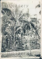 1925 Bamboo Poles Connect Trees Coconut Grove Laguna Philippines Press Photo