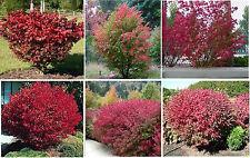 RED BURNING BUSH  GREAT FALL FOLLIAGE   10   SEEDS 4 U TO PLANT