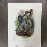 1896 Antico Stampa Animali Scimmia Humboldt's Woolly Vittoriano Cromolitografia