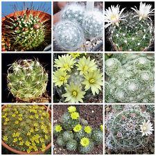 100 semi in miscuglio di Dolichothele mix ,piante grasse,seed cactus mix