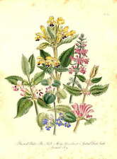 Botany – original hand-tinted lithograph by Loudon, 1849 - Bastard Balm