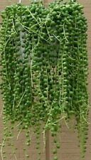 "String of Pearls hanging succulent 2 rooted stems each 3-6"" long Senecio"