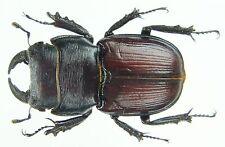 Insect - Noseolucanus rugosus - Myanmar - Male 24mm ....!!