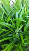 Live Pandan Extra Large Mature Plant, over 20 inches Tall.