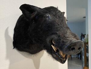 Shoulder Mount Wild Boar Pig Hog stuffed Razorback Black  Mancave Taxidermy