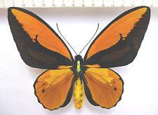 Ornithoptera croesus ssp.lydius M,  ex Halmahera,INDONESIA   KG1/15