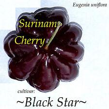 ~BLACK STAR~ cv Surinam Cherry Fruit Tree Eugenia uniflora 10 LIVE potd STARTERS
