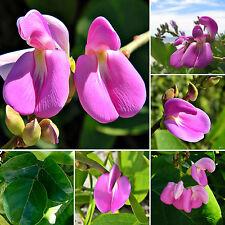 Meeresbohne • 10 Samen/seeds •Canavalia rosea (syn. maritima)•Ranker•Beach Bean