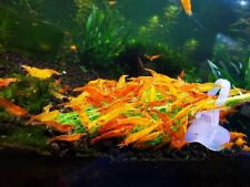 10 +1 Orange Sunkist - Freshwater Neocaridina Aquarium Shrimp. Live Guarantee