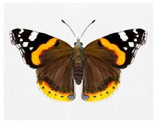 Red Admiral Butterfly Watercolour Painting A4 Signed Limited Edition Print