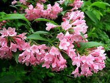 Pink Weigela - Live Healthy Established Rooted - 1 Plant in 1 Gallon Trade Pot