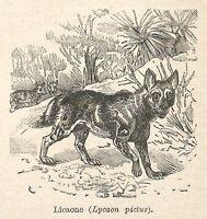 A7641 Licaone (Lycaon pictus) - Xilografia - Stampa Antica del 1928