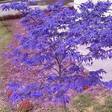 New listing 10 Rare Blue Maple Seeds Maple Seeds Bonsai Tree Plants Home Decors