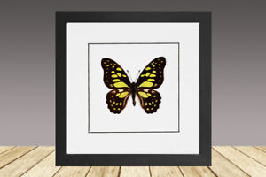 Graphium Cyrnus, Framed Butterfly, real Butterfly, Real insect