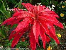 EARLY SPLENDOUR - 650 seeds - Amaranthus tricolor -