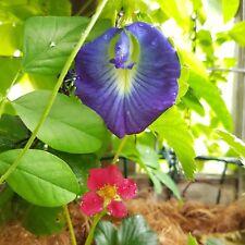 Butterfly Pea 'Clitoria ternatea' climbing vine flower garden 4gms FREE freight