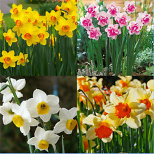 400pcs Charm Mixed Daffodil Seeds Spring Flower Double Narcissus Duo Bulbs P5F3