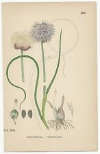 Sowerby. Greater Chives. Hand Colored Print. Over 100 years old! #1538.