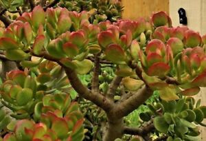 "Crassula ovata – Jade Plant, This is for 2 Cuttings, 3 - 5"" in length"