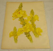 1886 Antique Color Print/VERBASCUM PHLOMOIDES (Yellow Flowers)