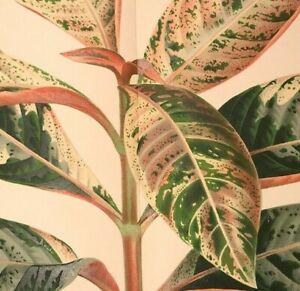 Botanical Print Plant CAMPYLOBOTRYS Linden Original Double Size Antique 1883