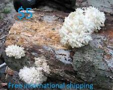 LIONS MANE Hericium erinaceus mushroom mycelium plugs spawn 4 dowels $4.90