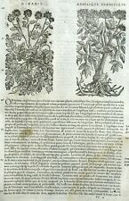 Myrrhis Perifollo Angelique Botánica Matthioli Mattioli Matthiole Dioscorides