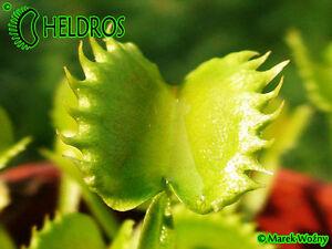 DIONAEA MUSCIPULA VENUS FLY TRAP Carnivorous seeds 63 diff. Clones FRESH, RARE !