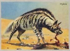 HYENE Hyaena Striped hyena AFRICA AFRIQUE IMAGE 1951 CARD