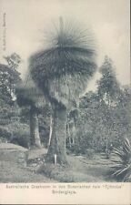 Dutch Indies Saindanglaya Australian tree 1910s PC