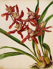 Vintage Botanical ORCHID Print Red Flower Print Cymbidium Adrian #1725