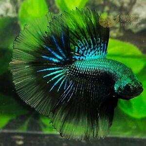 Live Betta Fish Super Green Black Samurai btf Halfmoon by SINGGAHAN BETTA FARM!